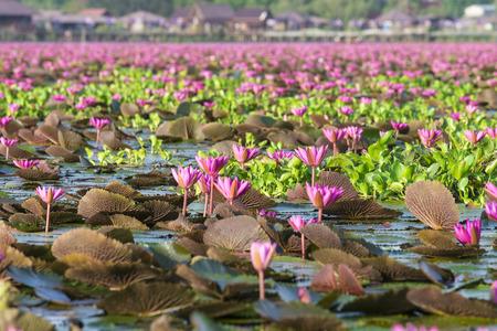 Natural pink lotus in Lotus Lake at Phatthalung Thailand