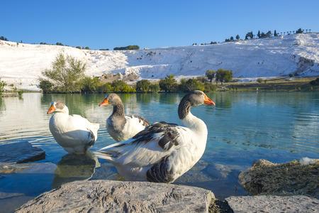 Ducks on thermal pools at pamukkale turkey Фото со стока