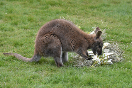 Red-necked wallaby Imagens
