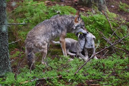 Grijze wolf  Stockfoto