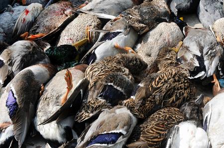dead duck: Dead ducks