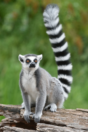 Ring-tailed lemur 스톡 콘텐츠