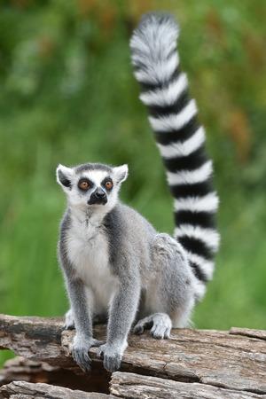 Ring-tailed lemur Standard-Bild