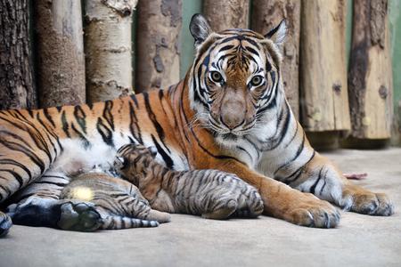 Malayan tiger cubs with their mom Stok Fotoğraf