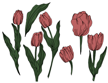Tulip colorful black and white engraved ink art. Botanical floral element. Isolated wild spring tulip illustration element. - Vector