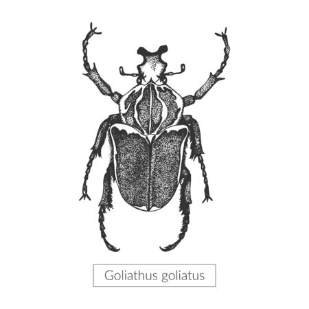 Macro detailed drawn insect. Goliathus beetle in its full length. Realistic entomological high quality illustration. Sketched drawn artistic image Ilustração