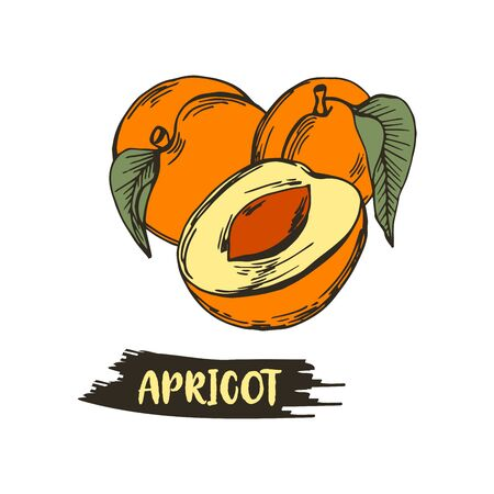 Apricot Drupe Fruit Similar to a Small Peach with Leaf and Halved Piece Showing Sweet Firm Flesh Vector Illustration. Garden Ripe Berry for Eating