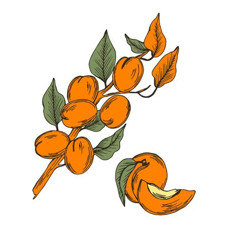 Apricot Branch with Drupe Fruit Hanging Similar to a Small Peach with Leaf Vector Illustration. Garden Ripe Berry for Eating