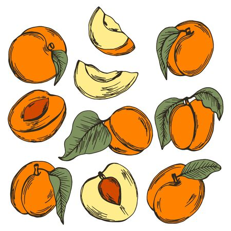 Apricot Drupe Fruit Similar to a Small Peach with Leaf and Sliced Pieces Showing Sweet Firm Flesh Vector Set. Garden Ripe Berry for Eating