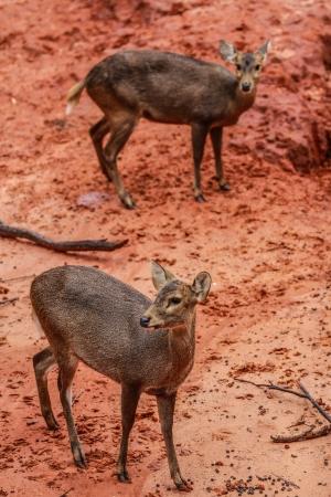 philippine adult: Deer