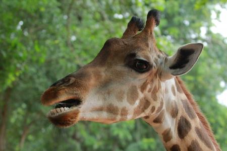 Giraffe  Stock Photo - 22671800