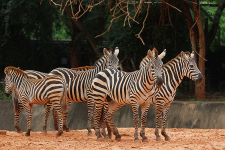 the zoo: Zebra Foto de archivo