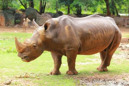 dermal: Rhino