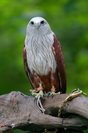 accipitridae: Red Hawk A medium-sized bird of prey in the family Accipitridae can be found in the Indian subcontinent, Southeast Asia and Australia  Stock Photo