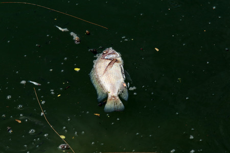 dead fish: dead fish floated in the dark water, water pollution