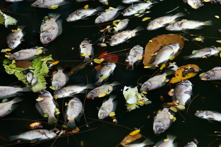 ecological problem: dead fish floated in the dark water, water pollution