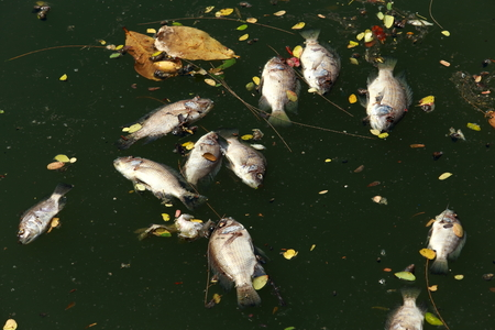 dead fish: Dead fish floated in the dark water, water pollution Stock Photo