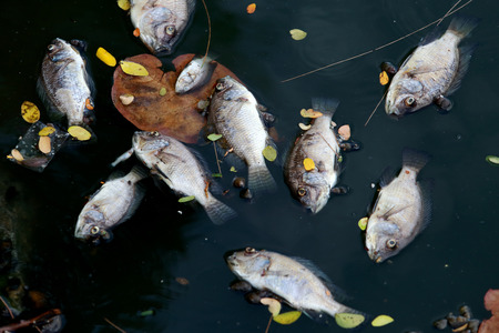 ecological problem: Dead fish floated in the dark water, water pollution Stock Photo