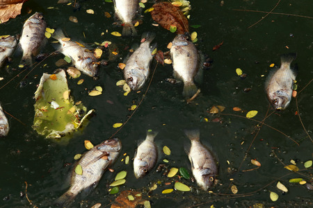 contaminate: dead fish floated in the dark water, water pollution