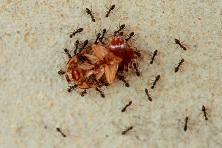 harmonious: Ants are a harmonious helped transport the remains of dead cockroaches.