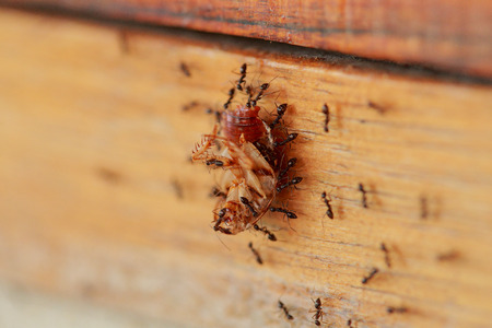 armonía: Las hormigas son una armoniosa ayudó a transportar los restos de cucarachas muertas. Foto de archivo