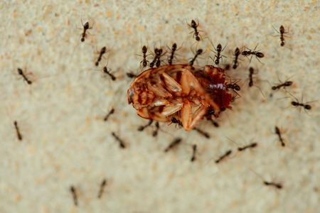 industrious: Ants are a harmonious helped transport the remains of dead cockroaches.
