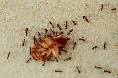 Ants are a harmonious helped transport the remains of dead cockroaches.