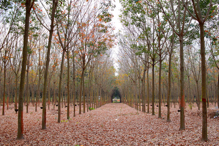 sylvan: rubber tree forest