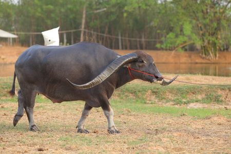 dignified: Thai buffalo horn long dignified, water buffalo in Thailand.