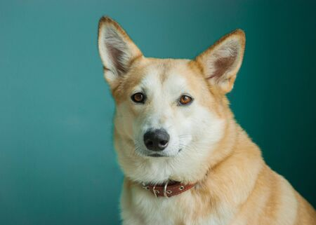 Layka husky dog. Detailed portrait on a blau background, cute dog brown-white Stockfoto