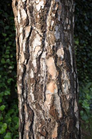 lumber industry: Pine tree and bark