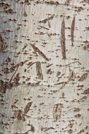 arbol alamo: Corteza de árbol de álamo Foto de archivo