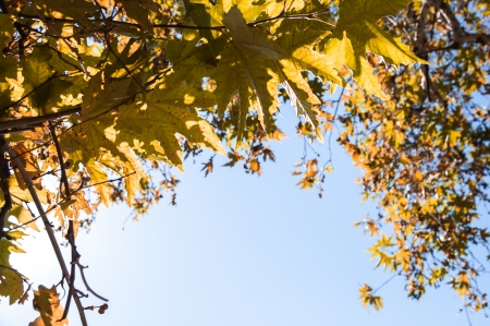 fondo azul: Oak branches and autumn leaves shined with the sun