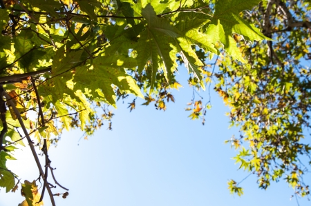 fondo azul: Oak branches and green leaves shined with the sun