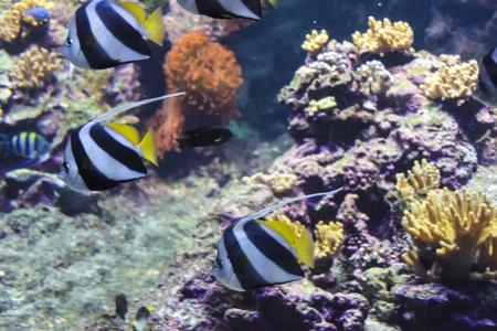 Zanclus cornutus idol moorish fish floating in the tropics one a few white nemo background