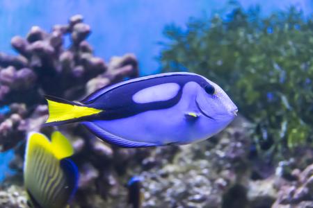 수족관에 떠있는 물고기 외과 의사의 반사