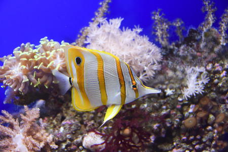 Chelmon rostratus fish Among the corals floating in the ocean background Stock Photo