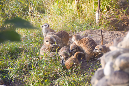 a group of a lot of meerkats digging around playing on the grass 版權商用圖片