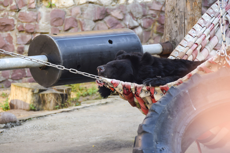 black bear lying in a hammock resting funny cute in  aviary