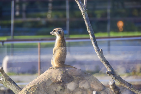 one meerkat sits on  hill mount watchman in the aviary Stock Photo
