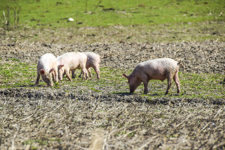 the piglets on  meadow eat play small farm agriculture pork