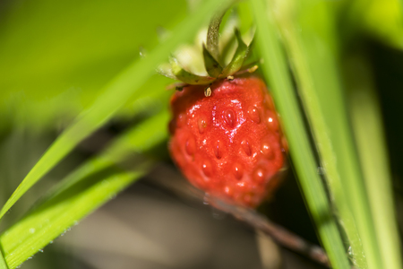 one red ripe strawberry wild in the leaves green background macro close
