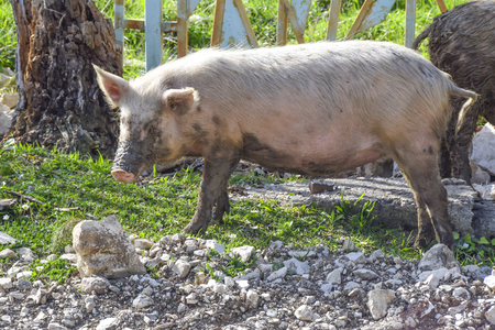 dirty pigs walk around the village agriculture  animals
