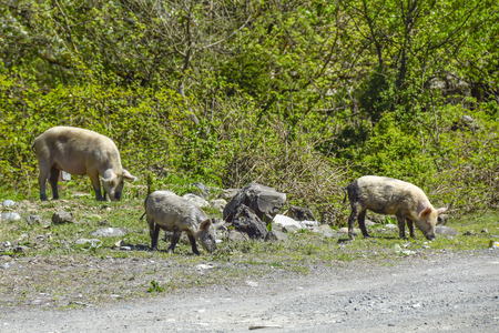 dirty pigs walk around the village agriculture  animals Фото со стока - 120637806