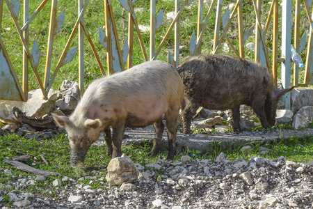 dirty pigs walk around the village agriculture  animals Фото со стока - 120637868