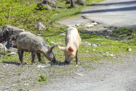 dirty pigs walk around the village agriculture  animals Фото со стока - 120637864