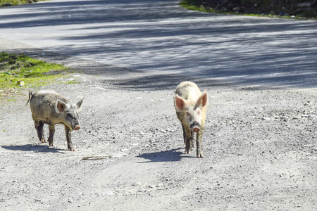dirty pigs walk around the village agriculture  animals Фото со стока - 120637870