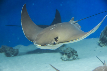 underwater photography sea stingray swims on blue background Banque d'images