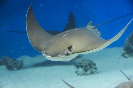 Unterwasserfotografie Seestechrochen schwimmt auf blauem Hintergrund Standard-Bild