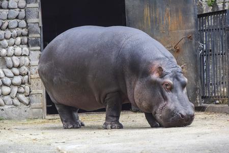 a big dangerous hippopotamus mammal stands on the ground